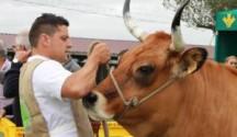 vacas-somiedo-2