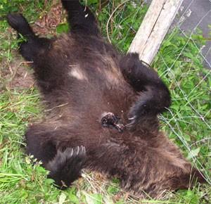 Imagen tomada por FAPAS de un oso muerto