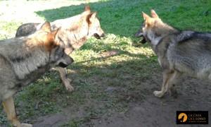 Los tres lobos de Belmonte