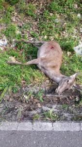 Imagen de la cierva muerta. Se puede apreciar el orificio por el que entró la bala.