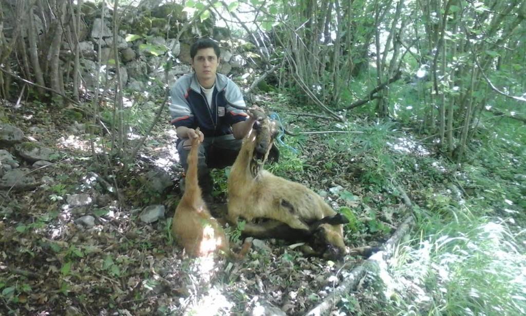 Cristian´muestra sus dos cabras, supuestamente muertas por el lobo