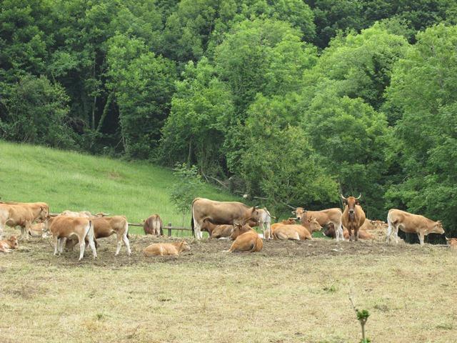 vacas monte