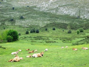 Vacas en los puertos de Marabio ayer