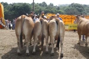las regueras vacas 2