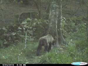 oso-desnutrido