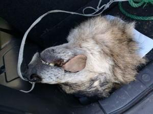 Cabeza de lobo arrojada a un vehículo de los guardas / Foto Agumnpa
