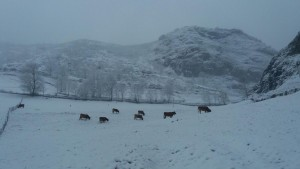 vacas-con-nieve-en-somiedo